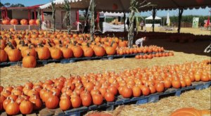 The Epic Pumpkin Patch In Southern California With A Corn Maze And Apple Cannon Is A Fun Family Adventure