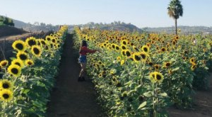 The Festive Sunflower Farm In Southern California Where You Can Cut Your Own Flowers