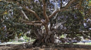The Massive Moreton Bay Fig Tree Tucked Inside This Southern California Park Is A Sight To Behold
