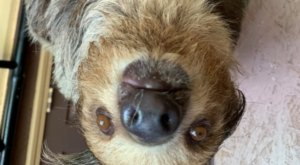 You Can Play With A Baby Two-Toed Sloth At Zootastic, A Safari Park In North Carolina
