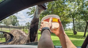 Meet The Adorable Zebras, Giraffes, And More At Eudora Farms' Drive-Thru Animal Safari In South Carolina