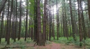 Get Lost In A Pine Grove Maze At Oak Openings Nature Preserve In Ohio