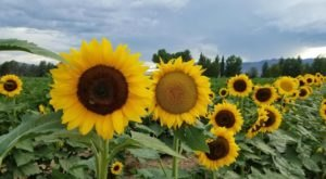 The Festive Sunflower Farm In Arizona Where You Can Cut Your Own Flowers