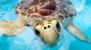Visit The Turtle Hospital In Florida And Learn All About Endangered Sea Turtles