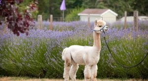 Everyone Will Love Cuddling With Alpacas At Happy Valley Alpaca Ranch In Washington