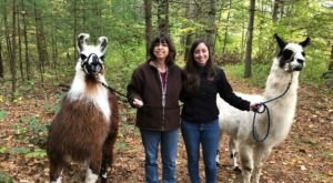 Hike With Llamas With Country Quilt Farm In Connecticut