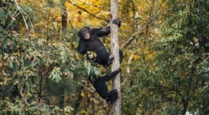 With Over 200 Acres, Chimp Haven In Louisiana Offers A New Beginning For Rescued Chimpanzees