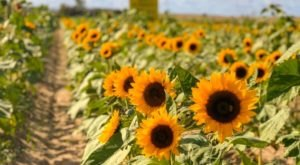 The Festive Sunflower Farm In Florida Where You Can Cut Your Own Flowers