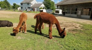Nothing Says Fall Is Here More Than A Visit To Maine's Charming Alpaca Farm