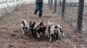 You Can Watch Live Pig Races Every Day When You Visit The Holiday Farms Pumpkin Patch In South Carolina