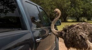 The Drive-Thru Safari At Hatari Wildlife Park In Texas Features All Sorts Of Exotic Animals