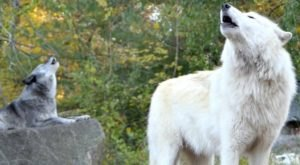 Why New York's Wolf Conservation Center Should Be Your Next Educational Adventure