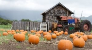 Fall Is In The Air In Hawaii At Waimanalo Country Farm's Drive-Through Pumpkin Path