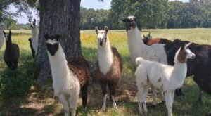 You Can Go Camping With Llamas At LlamaLand Ranch In Texas