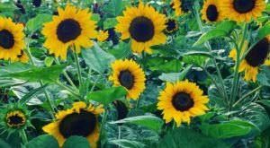 The Festive Sunflower Farm In Illinois Where You Can Cut Your Own Flowers