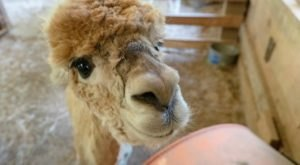 Spend Time Nuzzled Up To Alpacas At Lasso The Moon Farm In Georgia