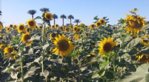 Frolic Through A Field Of 75,000 Sunflowers At Rocker 7 Farm Patch In Arizona