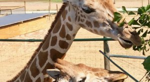 You Can Interact With Giraffes At McClain Resort In Mississippi