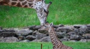 You'll Get Warm And Fuzzy Vibes From This Giraffe Cam At The Greenville Zoo In South Carolina