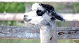 Embark On An Unforgettable Getaway At Bella Luna Alpaca Farm Cabin In Pennsylvania