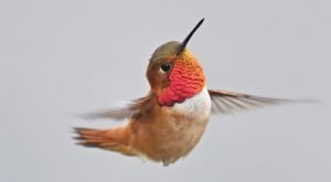 Keep Your Eyes Peeled For A Rare Species Of Hummingbird Flocking To Mississippi This Winter