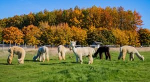 You'll Never Forget A Visit To Marquam Hill Ranch, A One-Of-A-Kind Farm Filled With Alpacas In Oregon