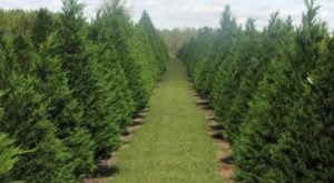 Pick Your Own Christmas Tree This Fall At The Beautiful Falcon Ridge Farm In Tennessee
