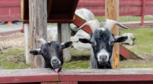 You'll Never Forget A Visit To Silverman's Farm,  A One-Of-A-Kind Farm Filled With Baby Goats In Connecticut