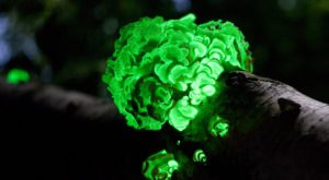 Deep In The Forests Of Massachusetts, There's A Magical Fungus That Glows In The Dark