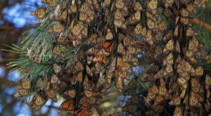 Thousands Of Monarch Butterflies Overwinter At The Pacific Grove Sanctuary In Northern California