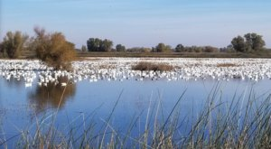 More Than A Million Waterfowl Arrive At Gray Lodge Wildlife Area In Northern California During Winter