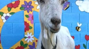 You'll Never Forget A Visit To Goats With Horns Animal Sanctuary, A One-Of-A-Kind Farm Filled With Rescued Farm Animals In Arizona