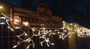 Stroll Along A One-Of-A-Kind Holiday Lights Tour At Crown Ridge Tiger Sanctuary In Missouri