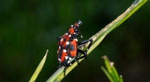 The Spotted Lanternfly Is An Extremely Destructive And Invasive Species And Has Just Been Found In Ohio