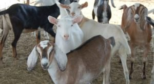 You'll Never Forget A Visit To Drake Family Farms, A One-Of-A-Kind Farm Filled With Goats In Southern California