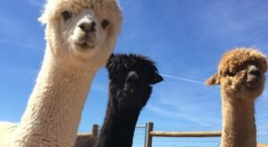 You'll Never Forget A Visit to Hollywick Farms, A One-Of-A-Kind Farm Filled With Alpacas In New Mexico