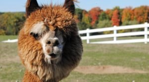 You'll Never Forget A Visit To Luina Greine Farm, A One-Of-A-Kind Farm Filled With Alpacas In Massachusetts