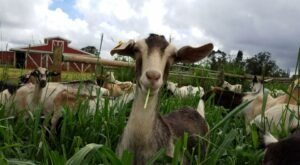 Hang Out With Goats At The Ultra-Charming Sweet Land Farm In Hawaii