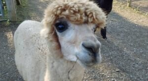You'll Never Forget A Visit To Shaftsbury Alpacas, A One-Of-A-Kind Farm Filled With Alpacas In Vermont