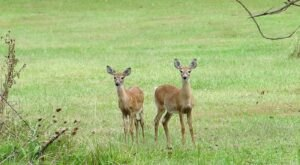 130 Years Ago, White-Tail Deer Had Nearly Vanished From West Virginia