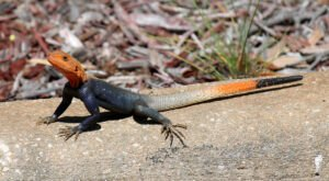 Everything To Know About The Red-Headed Lizards Invading Florida Right Now