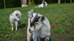 You'll Never Forget A Visit To The Farm at Walnut Creek, A One-Of-A-Kind Farm Filled With Goats In Ohio