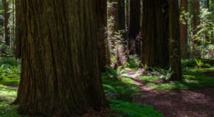 Walk Among The Tallest Trees In The World At Founders' Grove In Northern California