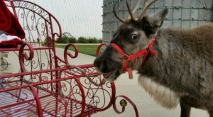 You'll Be Fascinated By The Delightful Creatures You Meet At Kansas's Best Reindeer Farm, Fulton Valley Farms