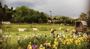 You'll Never Forget A Visit To Mountain Flower Goat Dairy, A One-Of-A-Kind Farm Filled With Goats In Colorado