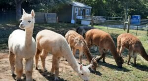 Spend The Day With Alpacas While Taking A Private Tour Of Arella Farm In Mississippi