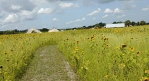 Get Lost In Thousands Of Beautiful Sunflowers At Sledd's U-Pick Farm In Florida