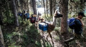 Hike With Llamas At Swan Mountain Llama Trekking In Montana