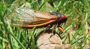 This Spring, Millions Of Cicadas Are Set To Emerge In North Carolina After 17 Years Underground