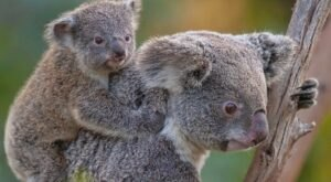 Visit With Koalas At The San Diego Zoo In Southern California For An Adorable Adventure